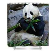 Giant Panda Shower Curtain