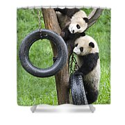 Giant Panda Cubs Shower Curtain