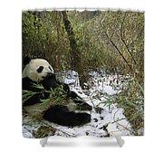 Giant Panda Eating Bamboo Wolong China Shower Curtain