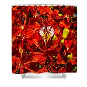 Giant Poinciana Blooms Shower Curtain