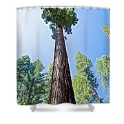 Giant Sequoia In Mariposa Grove In Yosemite National Park-california  Shower Curtain