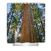 Giant Sequoia Trees Of Tuolumne Grove In Yosemite National Park. Shower Curtain