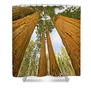Giant Sequoias And First Snow Shower Curtain