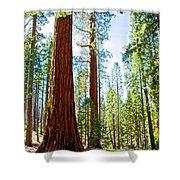 Giant Sequoias In Mariposa Grove In Yosemite National Park-california Shower Curtain