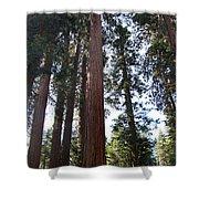 Giant Sequoias - Yosemite Park Shower Curtain