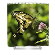 Giant Swallowtail On Clover 2 Shower Curtain