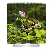 Giant Swallowtail On Clover 3 Shower Curtain