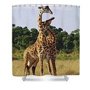 Giraffe Males Sparring Masai Mara Kenya Shower Curtain