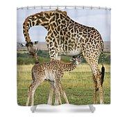 Giraffe Nuzzling Her Nursing Calf Shower Curtain