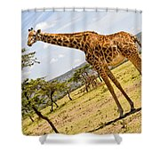 Giraffe Walking To Their Tree Shower Curtain by Perla Copernik
