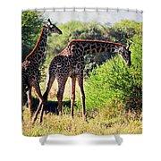 Giraffes On Savanna Eating. Safari In Serengeti Shower Curtain