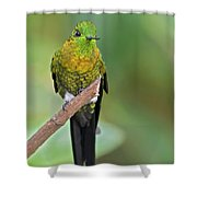 Golden-breasted Puffleg Shower Curtain