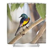 Golden-breasted Starling Shower Curtain