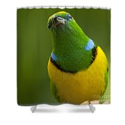Golden-browed Chlorophonia - Chlorophonia Callophrys Shower Curtain