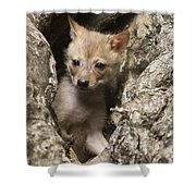 Golden Jackal Canis Aureus Cubs 2 Shower Curtain