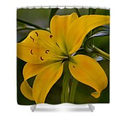 Golden Lily Sway 2013 Shower Curtain