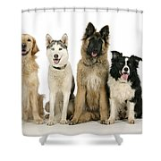 Golden Retriever, Husky, Tervuren Shower Curtain