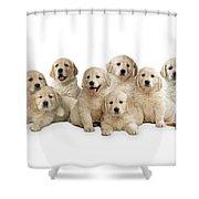 Golden Retriever Puppies, In A Line Shower Curtain