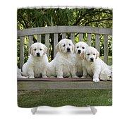 Golden Retriever Puppies Shower Curtain