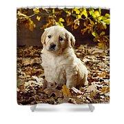 Golden Retriever Puppy Dog In Fallen Shower Curtain