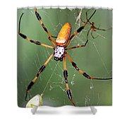 Golden Silk Spider Capturing A Stinkbug Shower Curtain
