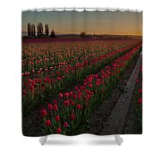 Golden Skagit Tulip Fields Shower Curtain