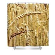 Golden Wheat  Shower Curtain