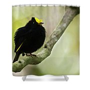 Golden-winged Manakin Shower Curtain