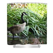 Goose Walking Back In For A Swim Shower Curtain