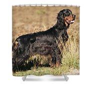 Gordon Setter Dog Shower Curtain