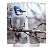 Gorgeous Blue Jay Shower Curtain