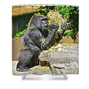 Gorilla Eats Shower Curtain
