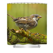 Gorrion House Sparrow Shower Curtain