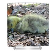 Gosling Napping  Shower Curtain