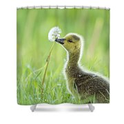 Gosling With Dandelion Shower Curtain