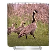 Goslings On A Walk Shower Curtain