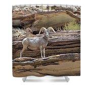 Grand Canyon Big Horn Sheep Shower Curtain