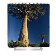 Grandidiers Baobab Trees Madagascar Shower Curtain