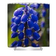 Grape Hyacinth Shower Curtain by Adam Romanowicz