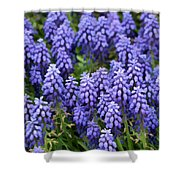 Grape Hyacinth At Thanksgiving Point - 1 Shower Curtain