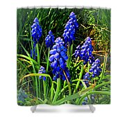 Grape Hyacinths 2014 Shower Curtain