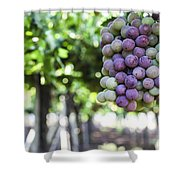Grapes On Vine 2 Shower Curtain
