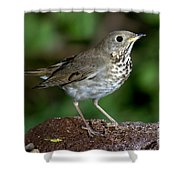 Gray-cheeked Thrush Catharus Minimus Shower Curtain