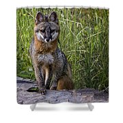 Gray Fox Posing Shower Curtain