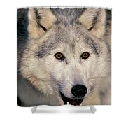 Gray Wolf Canis Lupus, Minnesota Shower Curtain