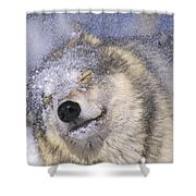 Gray Wolf Canis Lupus Shaking Snow Off Shower Curtain