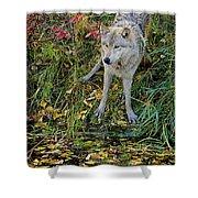 Gray Wolf Drinking Shower Curtain