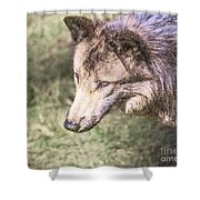 Gray Wolf Grey Wolf Canis Lupus Shower Curtain