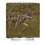 Gray Wolf Hunting Shower Curtain