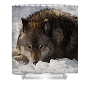 Gray Wolf In Snow Shower Curtain